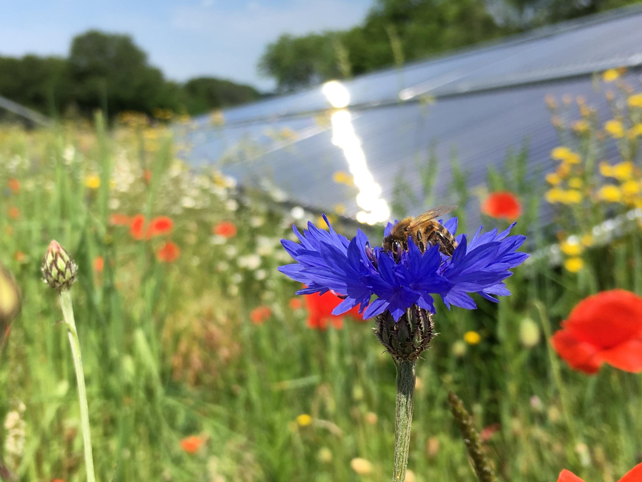 Solarthermie-Blühwiese mit Biene
